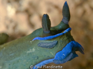I was really fascinated with this nudi's rudimentary eyes... by Paul Flandinette 